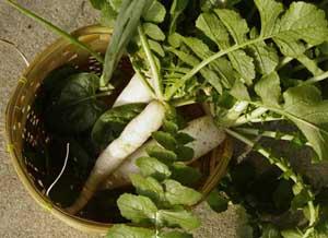 daikon radish harvest