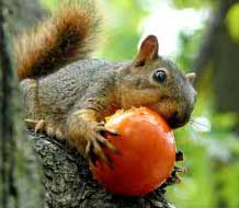 squirrel with tomato