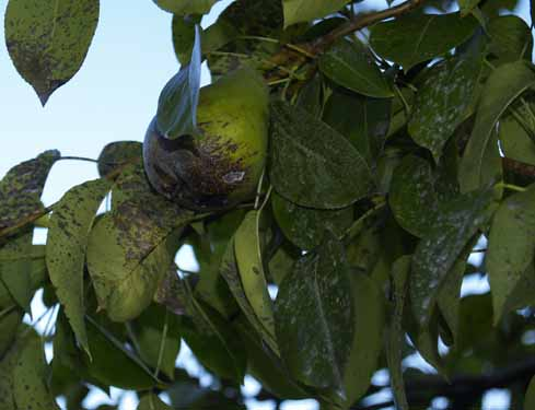 Black Spots On A Asian Pear Leaves 111