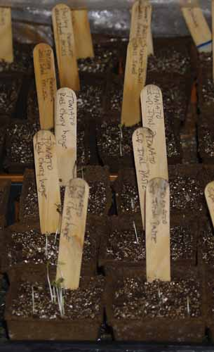 Tomato Seed Sprouts