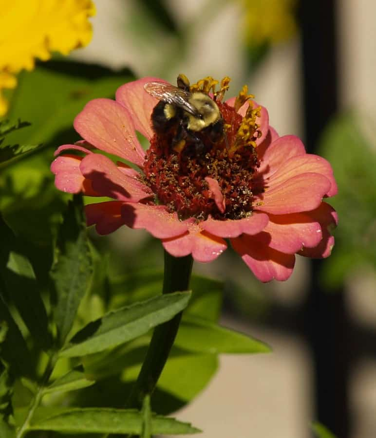Pollination: Invite Bees Into Your Organic Garden