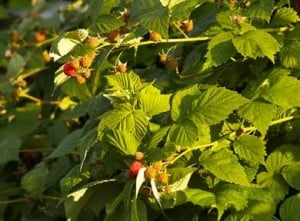 organic raspberries on the vine