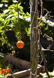 tomato on vine in October