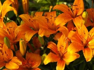 orange asian lilies