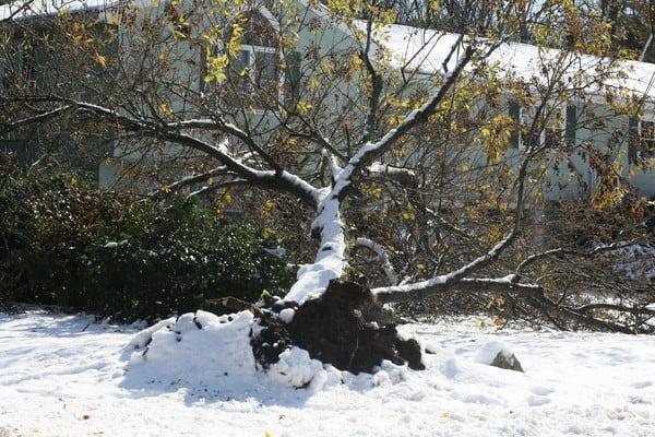 tree down in yard halloween snowstorm oct 29