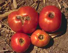How to water tomatoes and July gardening tips