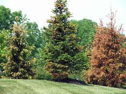 DuPont Imprelis update: no satisfaction for most tree owners | Big Blog Of Gardening
