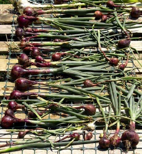 organic onions and garlic dry in the sun