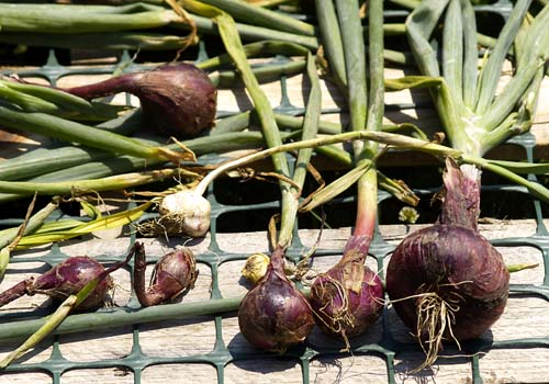 How To Grow Onions: Which Types Are Best For My Area?