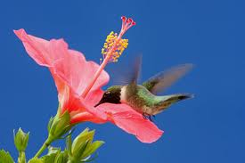 ruby throated hummingbird feeding on hibiscus