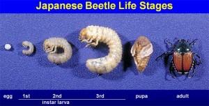 japanese beetle egg grub adult