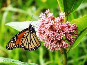 monarch butterfly feeds on milkweed