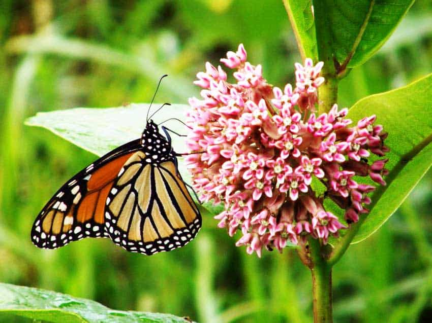 How Home Gardeners Can Save The Monarch Butterfly