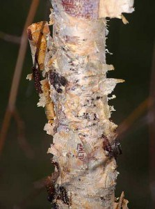 RIVER-BIRCH-EXFOLIATING-BARK