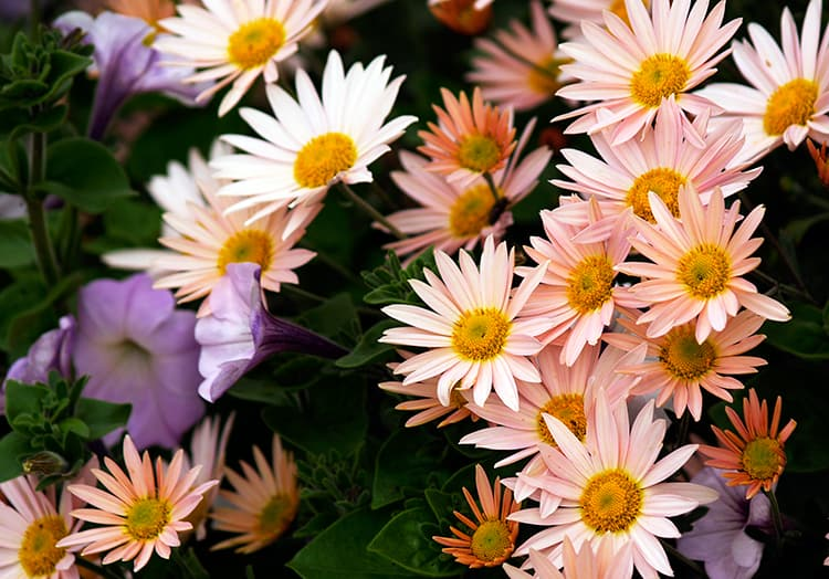 Are Chrysanthemums Annuals or Perennials?