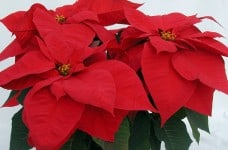 poinsettia holiday