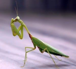praying mantis beneficial insects