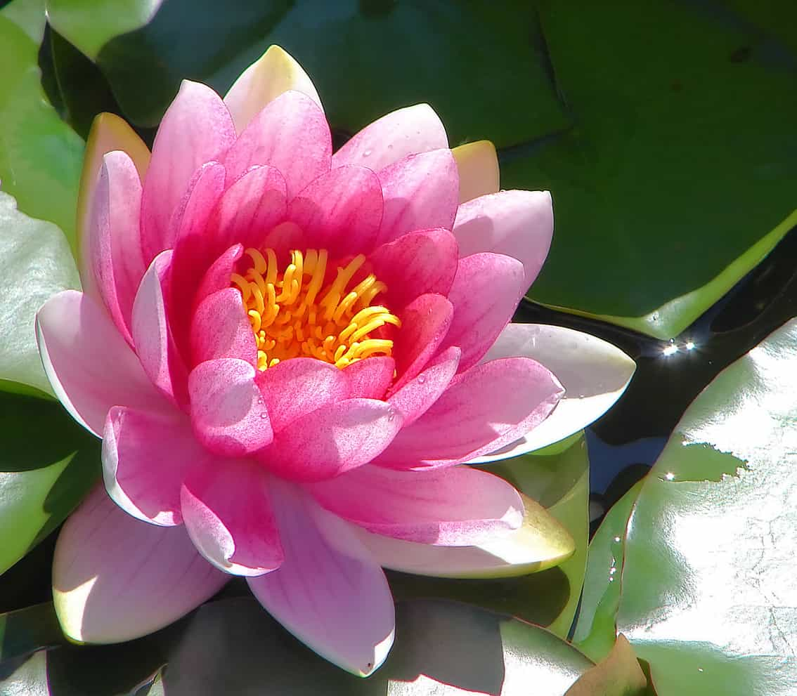 Garden Pond Plants: Which are Best?
