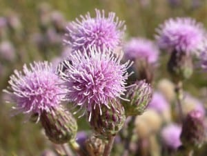 canadian thistle flowers