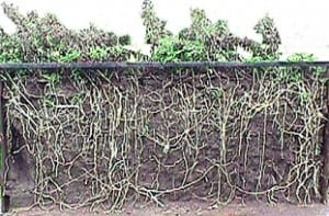roots of canada thistle