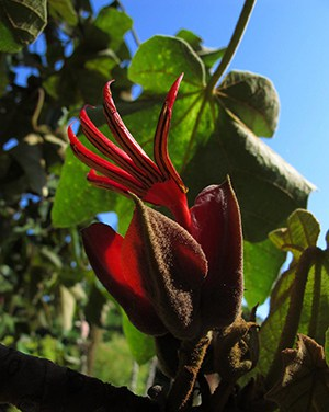 devils hand flower 10 Of The World's Weirdest Flowers
