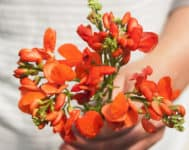 scarlet runner bean flowers