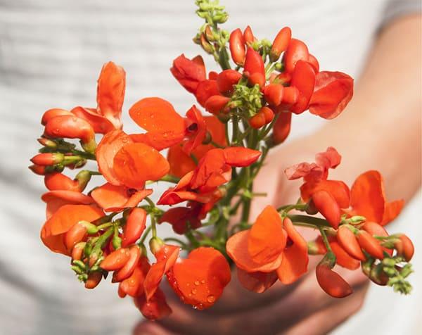 scarlet runner bean flowers